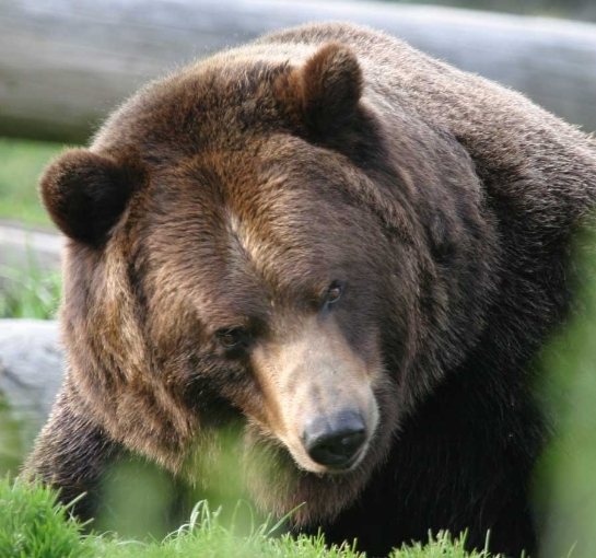 Kodiak Brown Bear 3